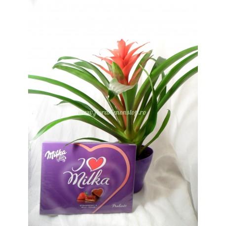 Floare la ghiveci Guzmania + Milka