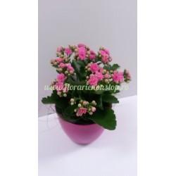 Flori cadou livrare la Cluj Kalanchoe