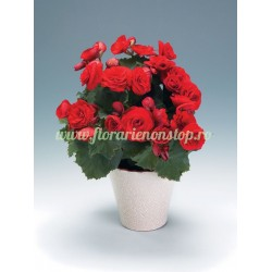 Flori la ghiveci Begonia