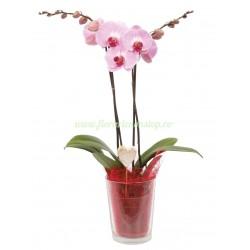 Orhidee la ghiveci roz