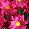 Buchete cu crizantema