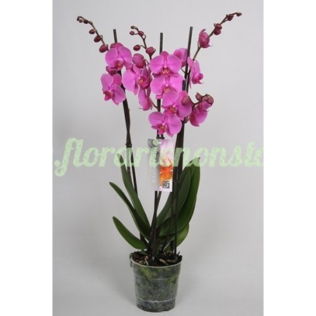 Orhidee phalaenopsis 4 tije