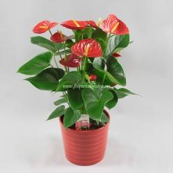 Comanda flori ghiveci Anthurium