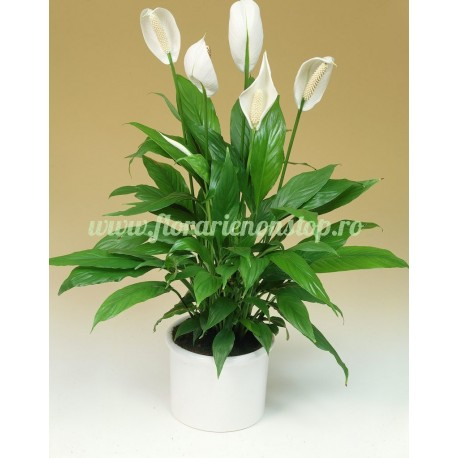 Spathiphyllum la ghiveci